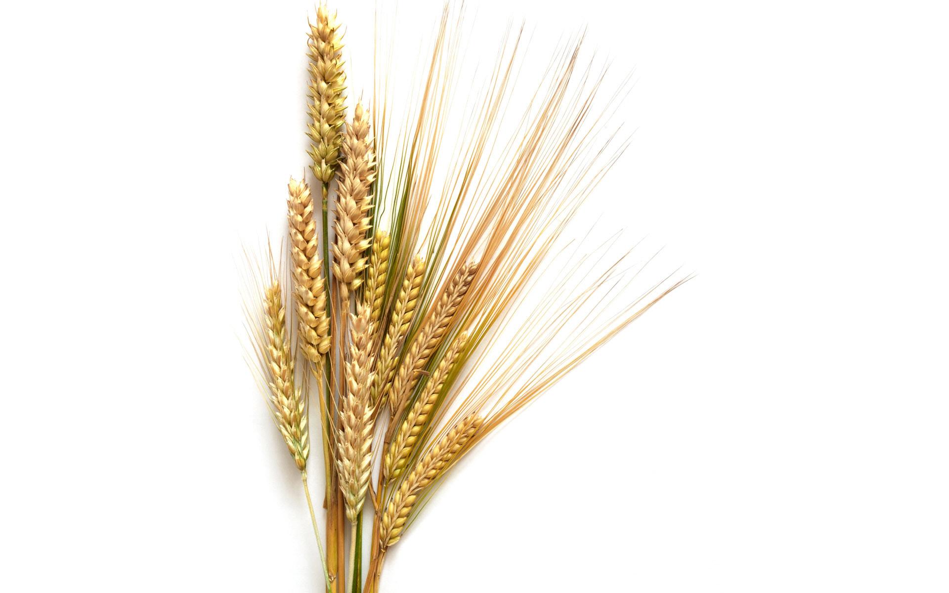 Free head cliparts download. Wheat clipart border