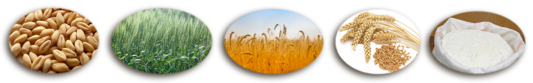 National agriculture in the. Grains clipart wheat head