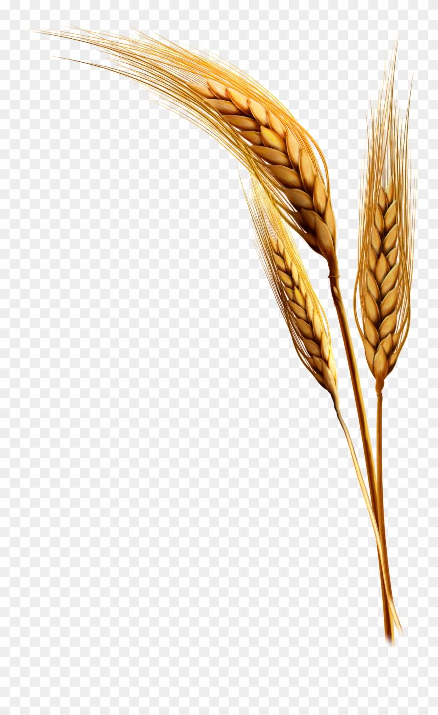 Grains clipart wheat plant. Emmer rice clip art