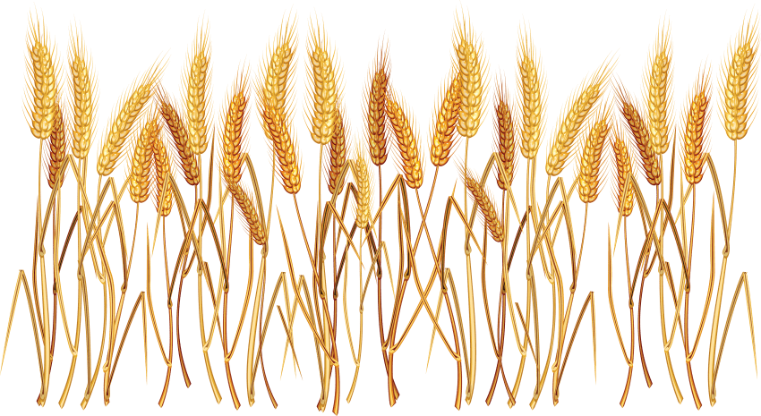 Ear cereal common clip. Wheat clipart wheat seed