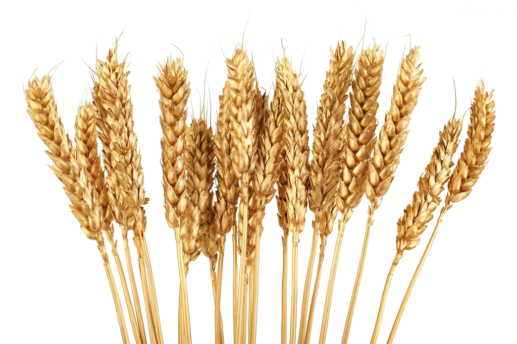 grain huge freebie. Wheat clipart wheat shock