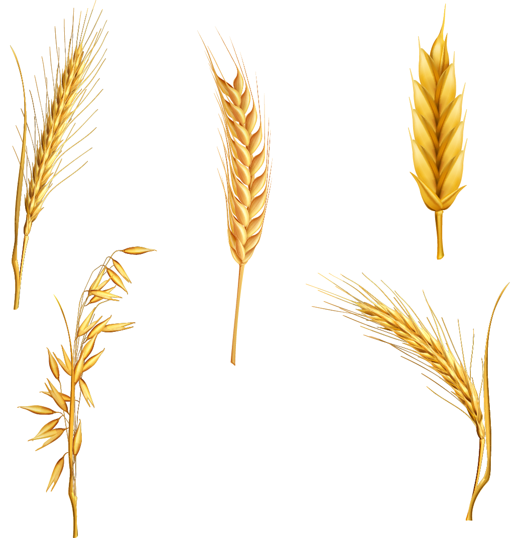 Grains clipart wheat stalk. Cereal for free and