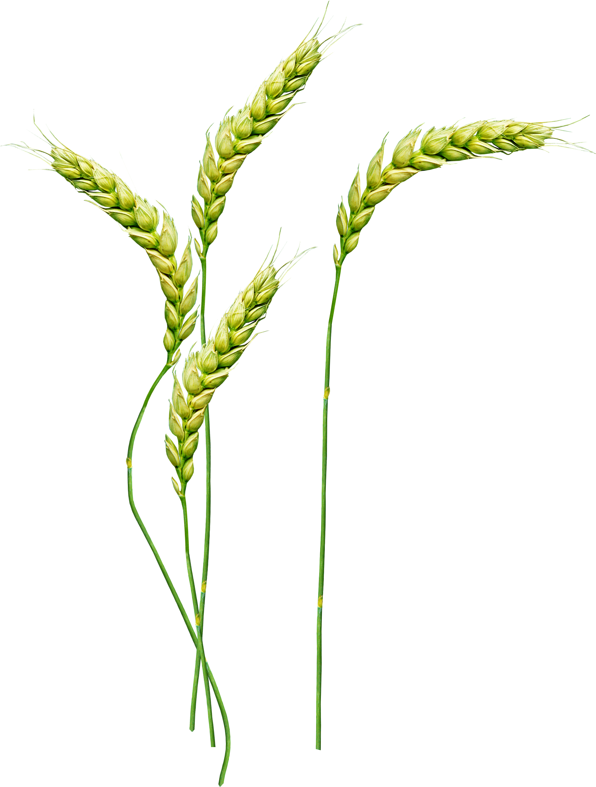Png images free download. Wheat clipart wheat stem