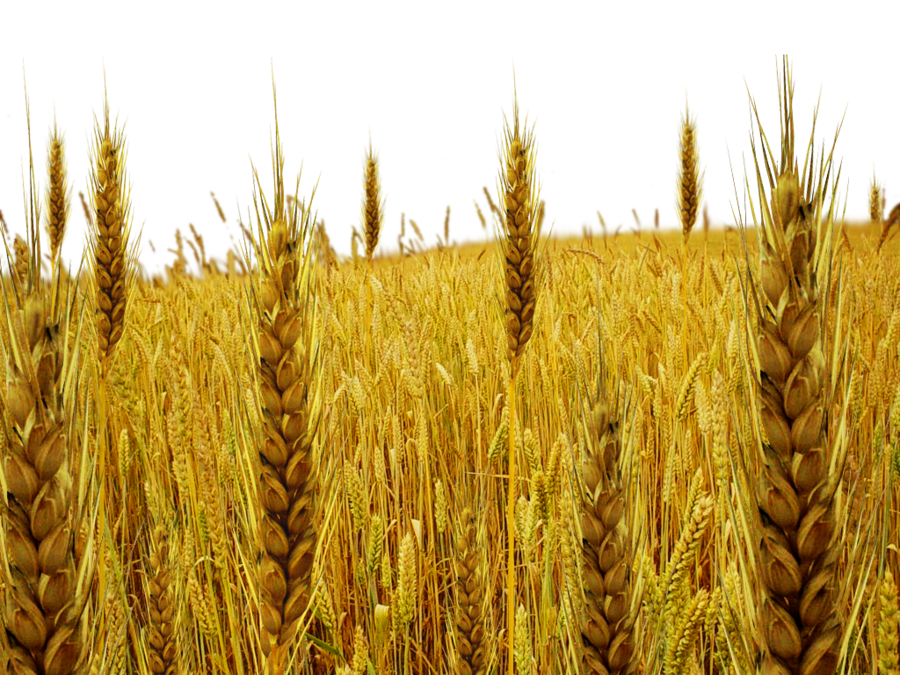 Wheat clipart wheat tares. Plant black and white