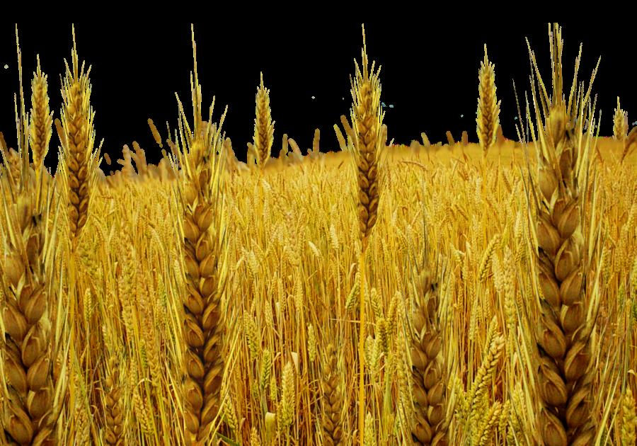 Cartoon agriculture harvest . Wheat clipart wheat tares