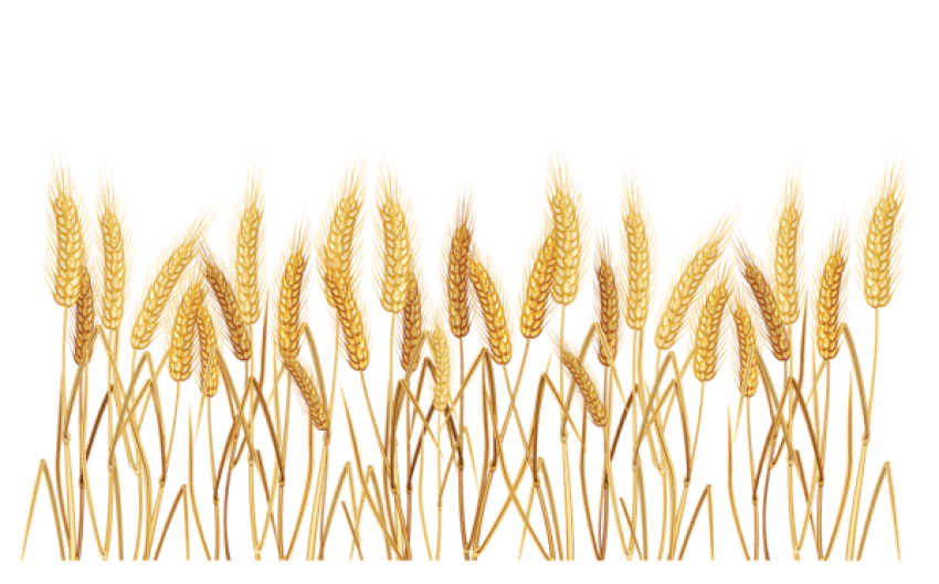 Grain clipart yellow wheat. Png free images toppng