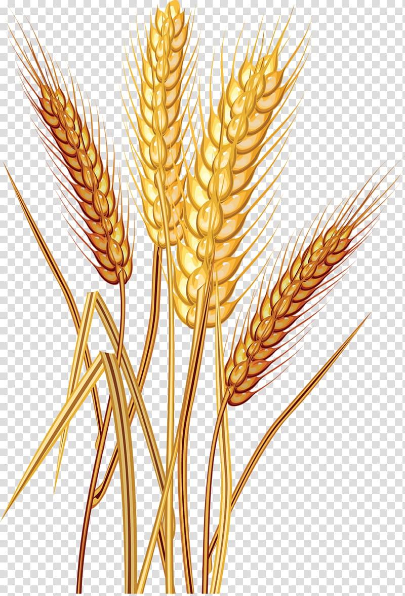 Wheat grain transparent background. Grains clipart common
