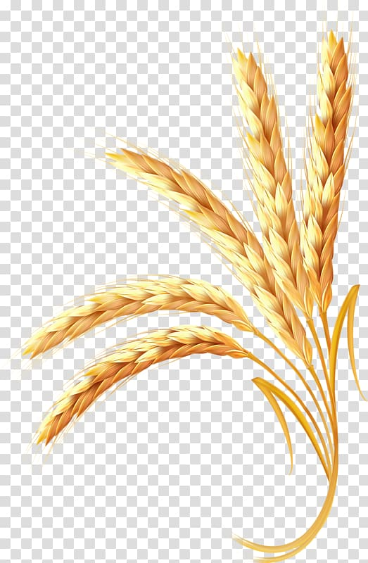 Wheat illustration ear cereal. Grains clipart animated