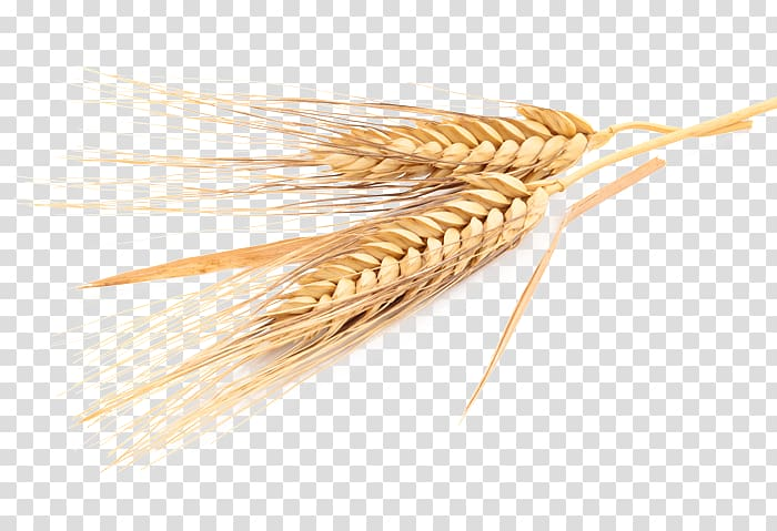 Emmer cereal wheat rye. Grains clipart common
