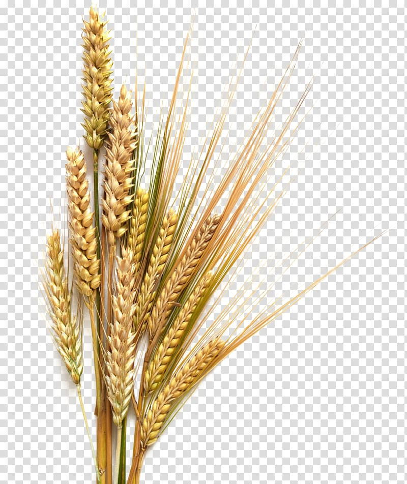Grains clipart transparent background wheat. Field cereal food grain