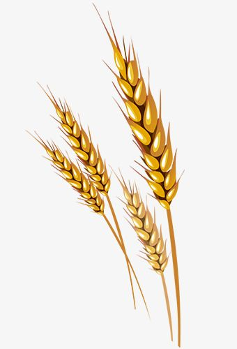 Free malt download clip. Grains clipart wheat bunch