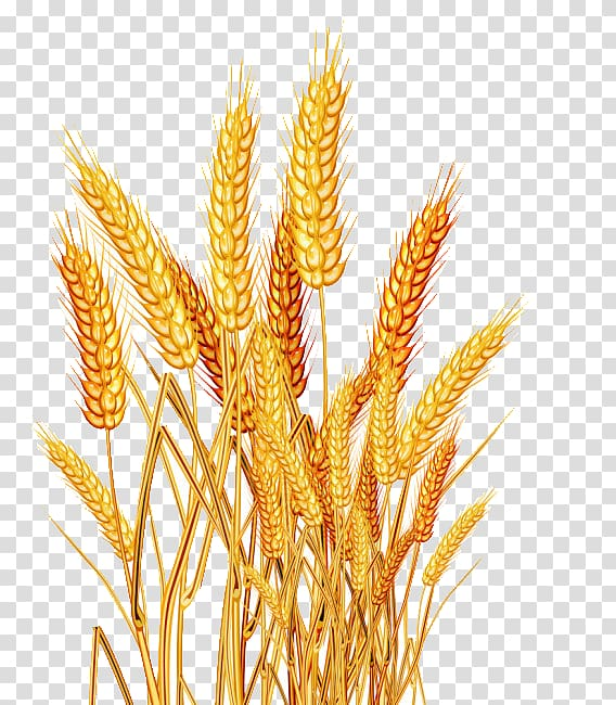 Grains clipart wheat seed. Brown rice oryza sativa