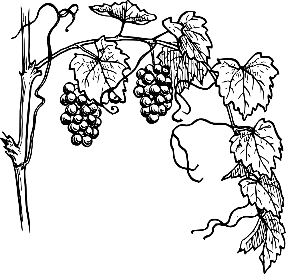 Vines clipart vine plant. Grapevine black and white