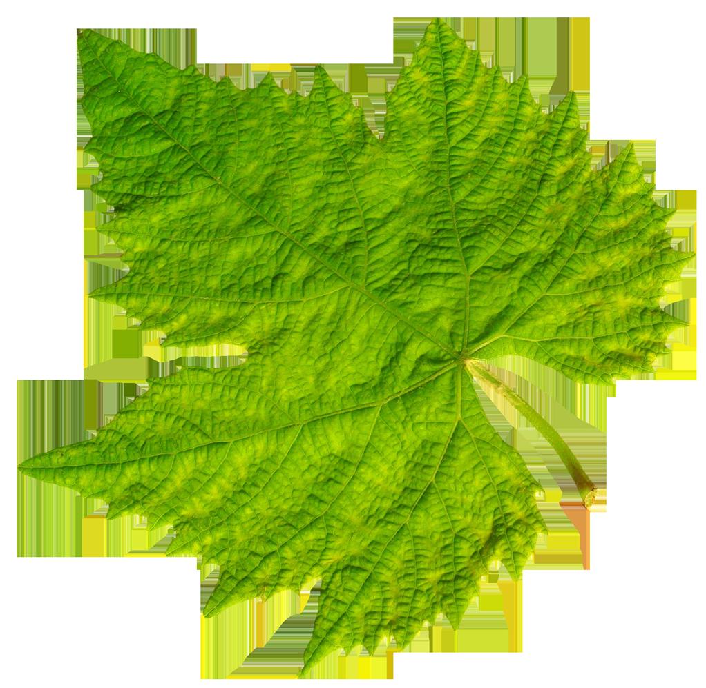 Grape clipart clear background. Vine leaf png image
