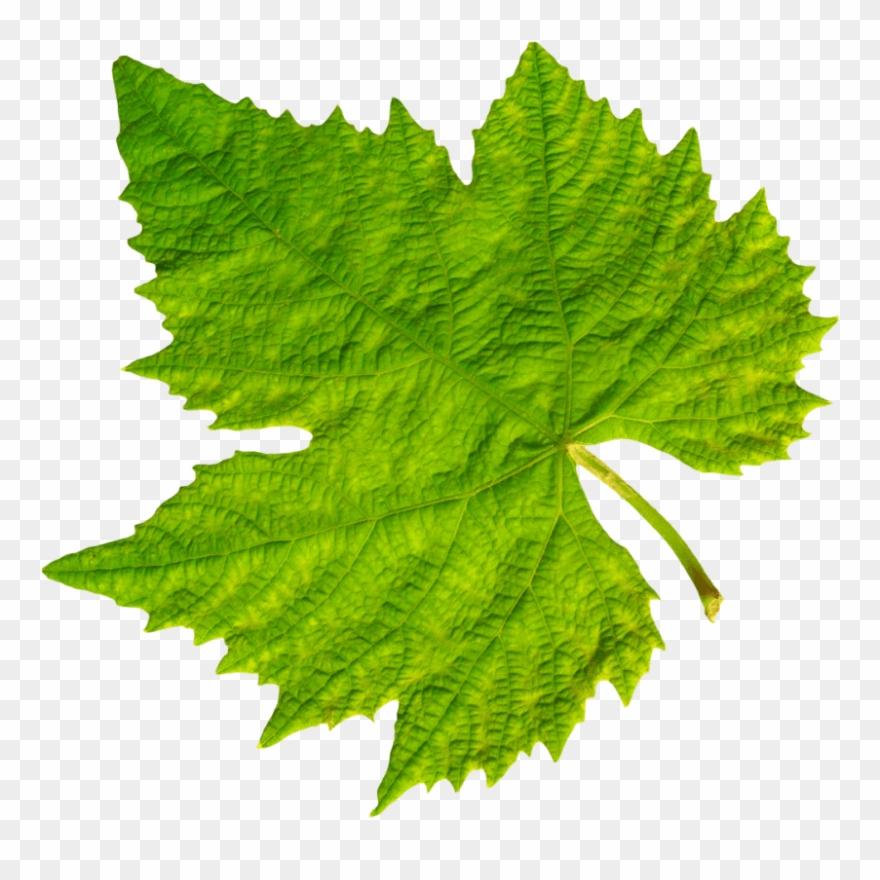 Download grape vine leaf. Grapes clipart leaves