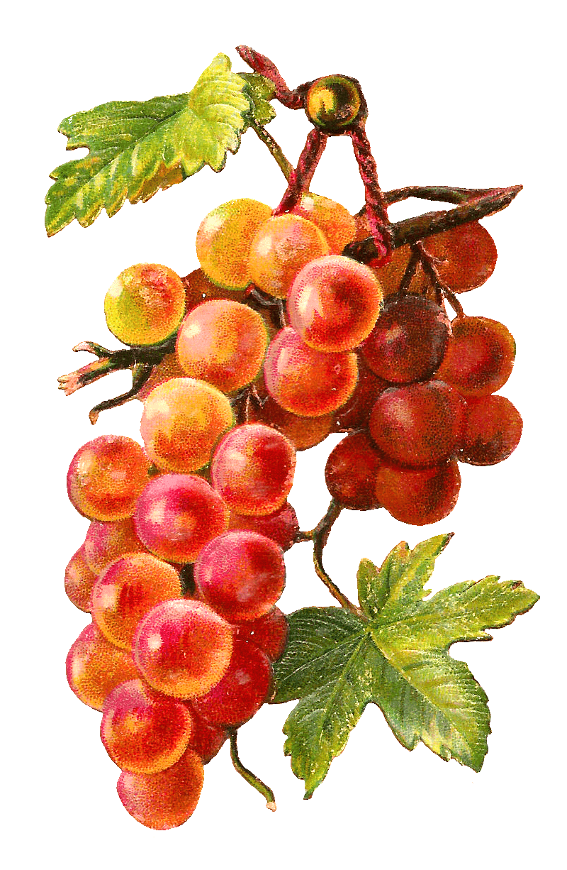 Grapes clipart orange. Gold red vine transparent
