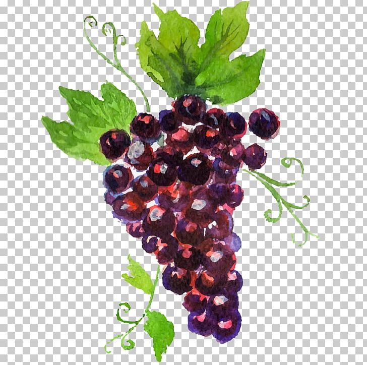 Grape auglis watercolor painting. Grapes clipart painted
