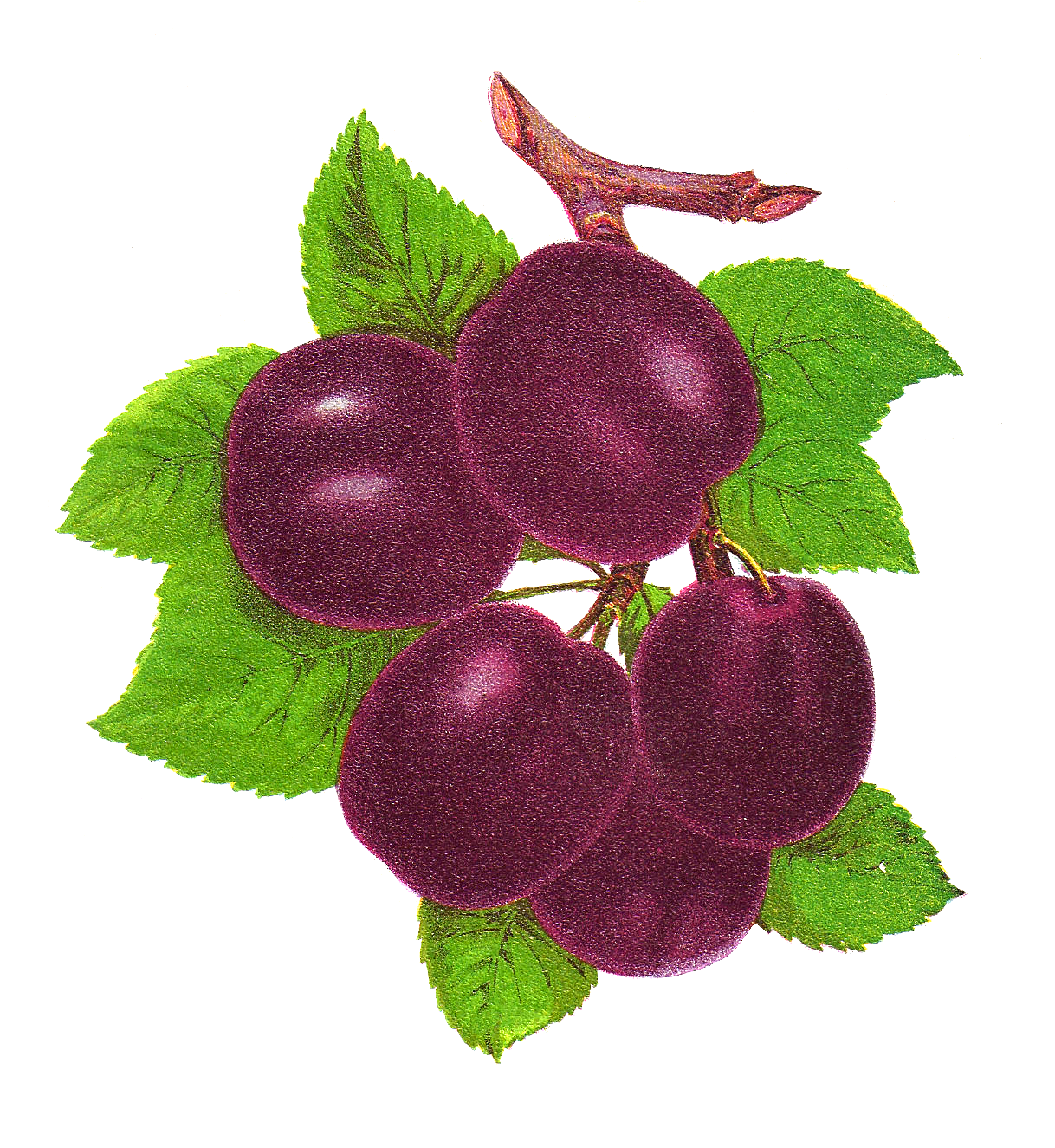 Yahoo image search results. Grape clipart plum fruit