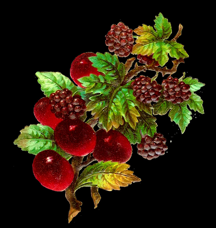 Grape clipart plum fruit. Antique images vintage digital