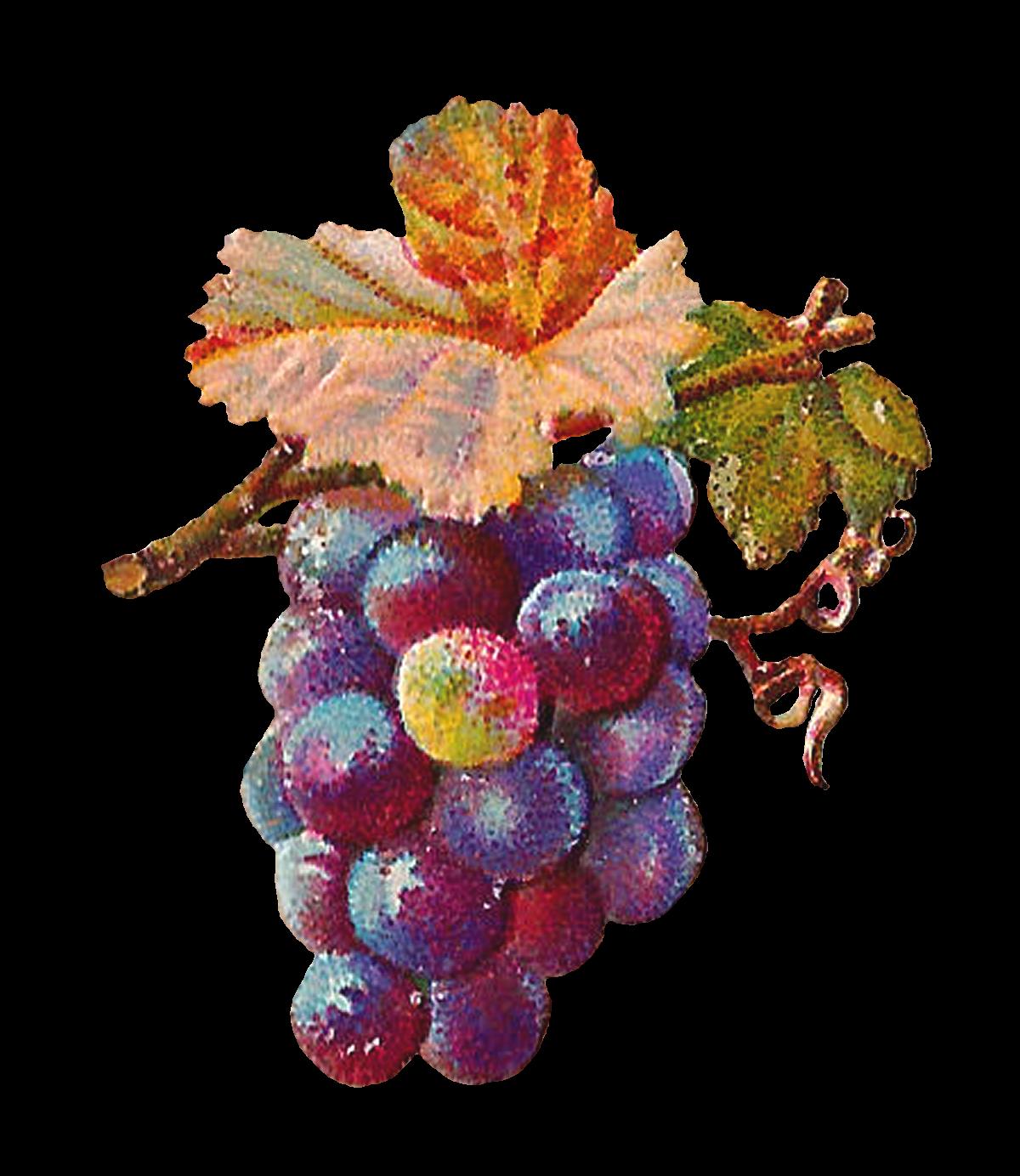 Antique images digital grapes. Grape clipart printable