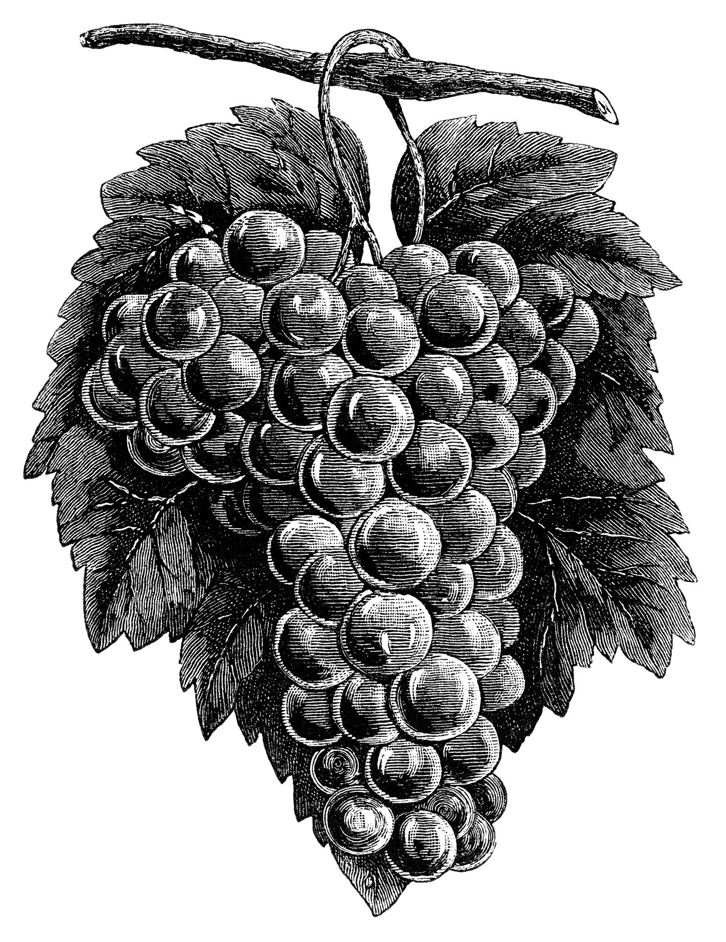 Grape clipart printable. Cluster grapes black and
