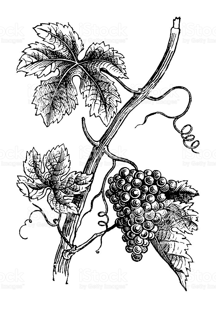 Download bunch of grapes. Grape clipart vintage