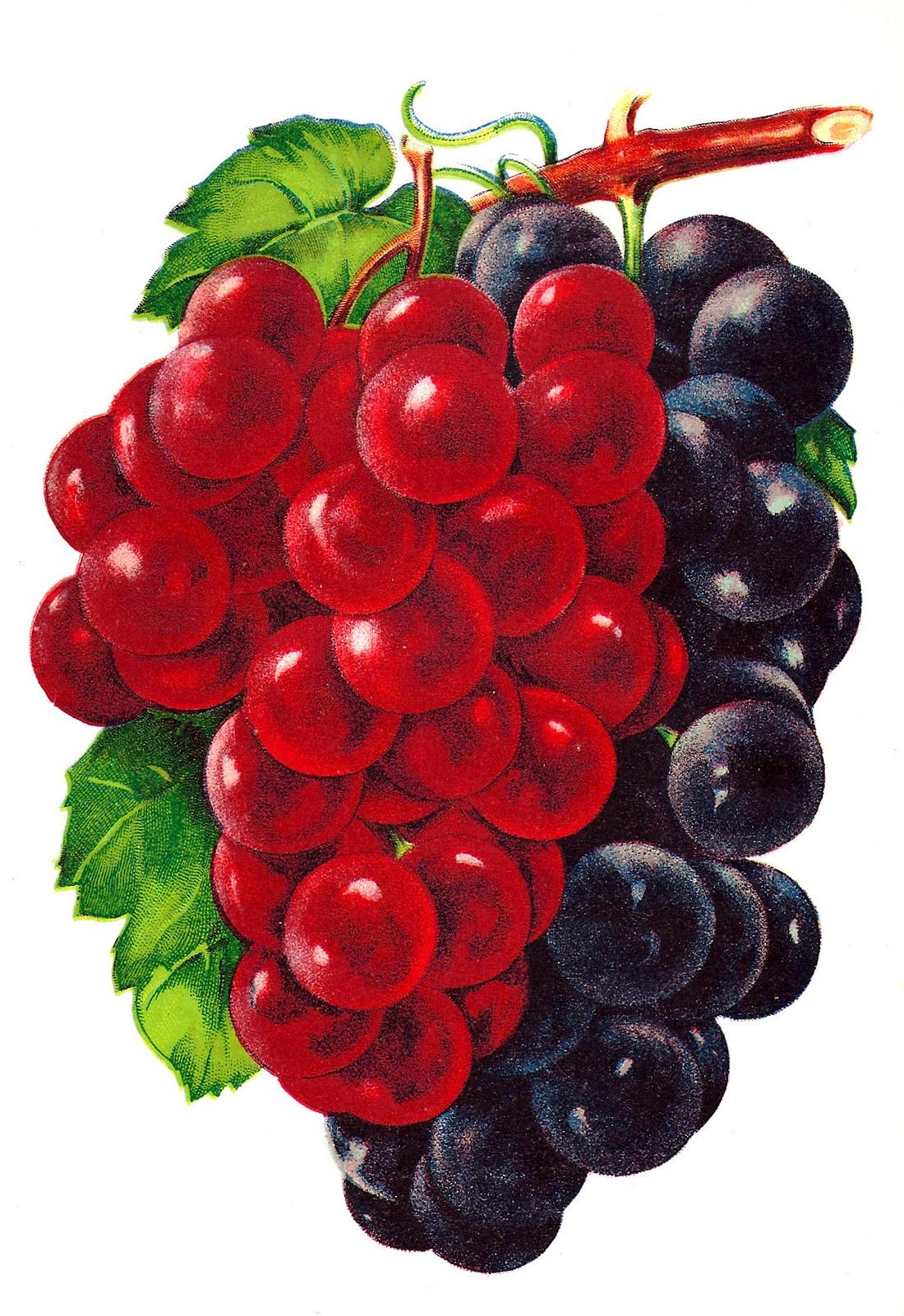 Grape clipart vintage. Antique images clip art