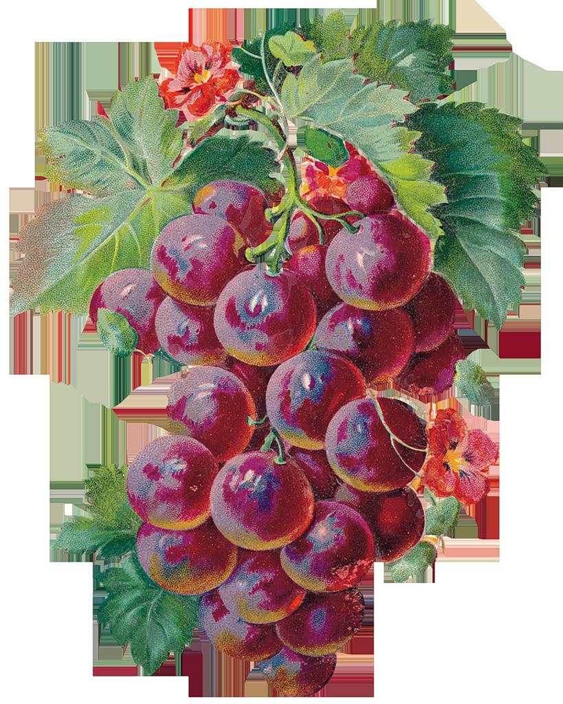 Laminas para decoupage art. Grape clipart vintage