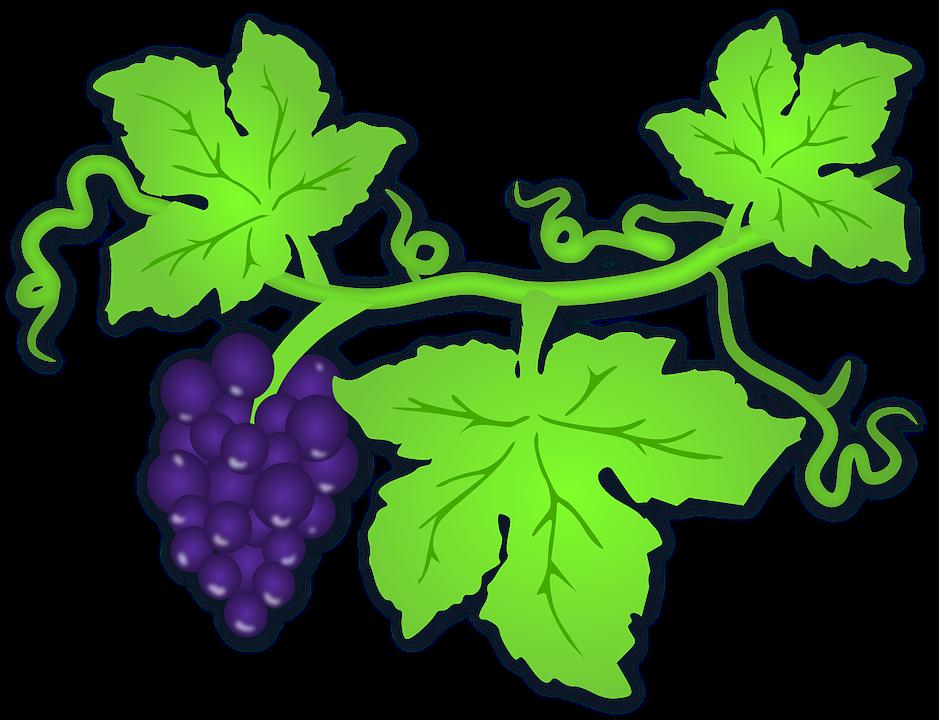 Grapevine clipart winery. Grape leaves conneaut area