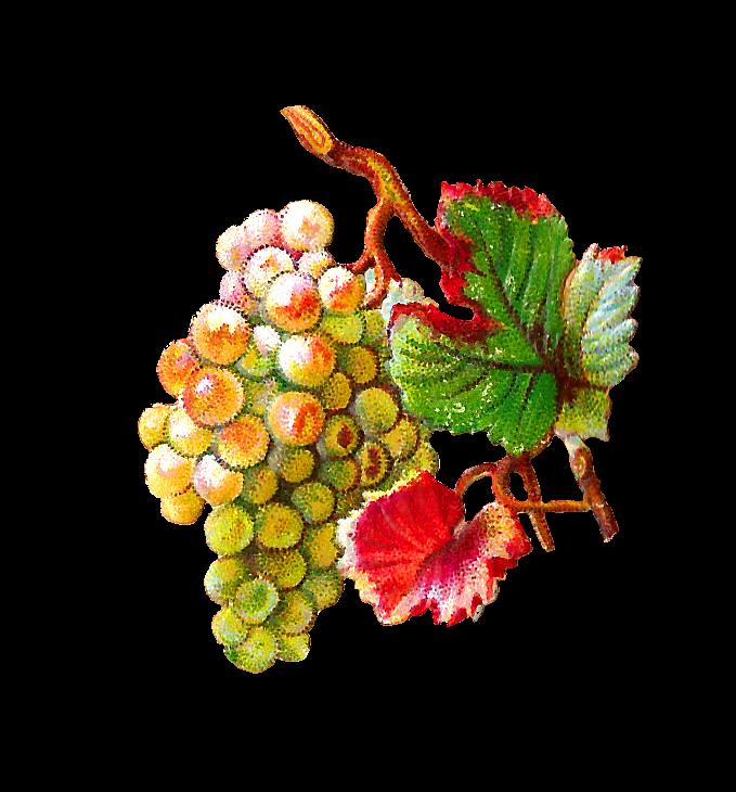 Grapes clipart branch. Antique images free fruit