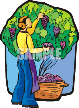 Grapes clipart farmer. Cartoon grape harvest transparent