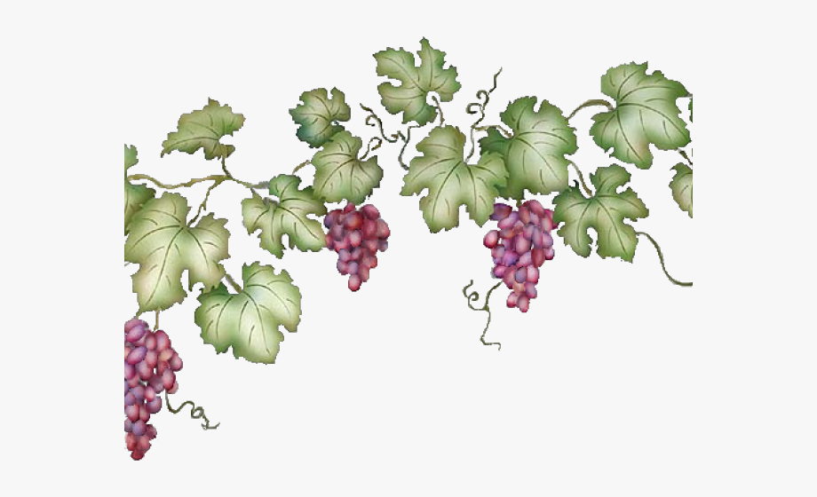 Grapevine transparent background . Grape clipart grape plant
