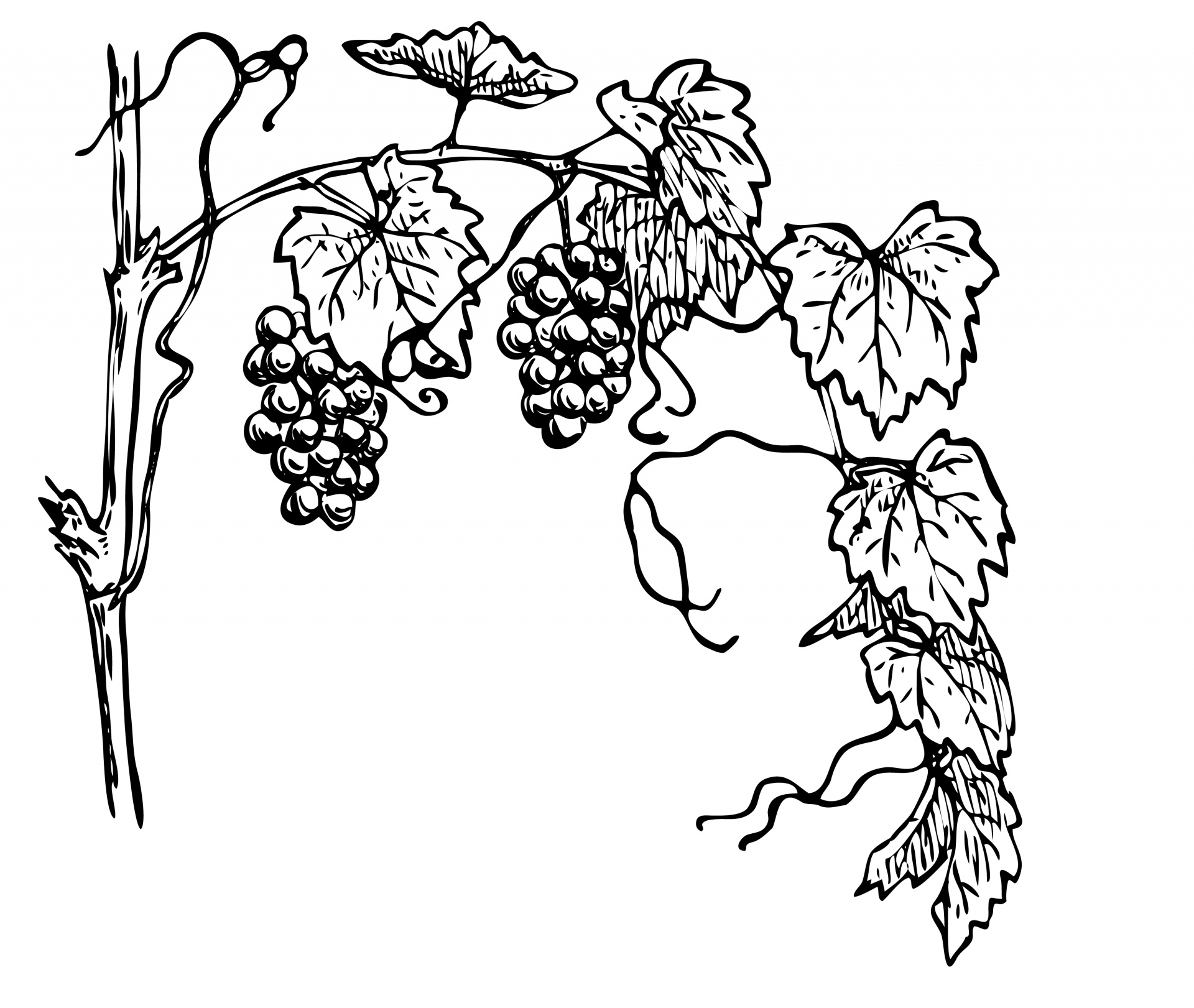 Grapevine clipart. Illustration free stock photo