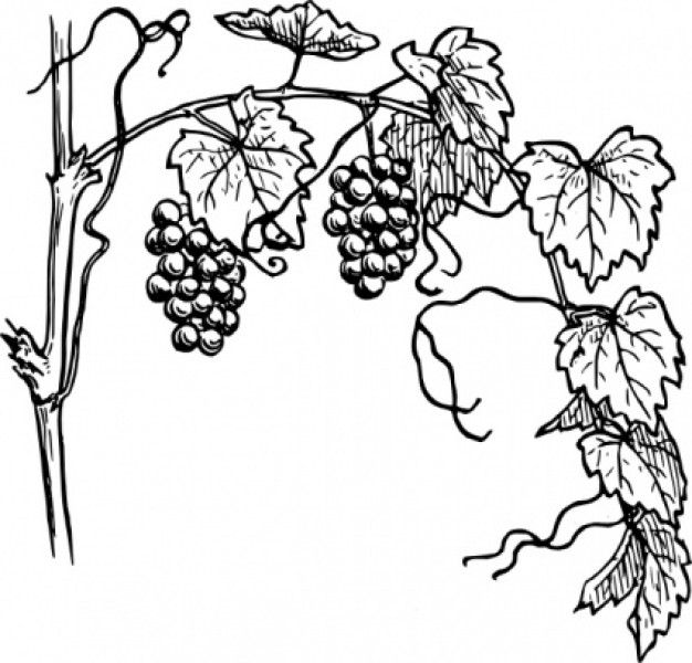 Grapevine clipart. Panda free images download
