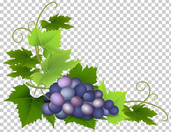 Grapevine clipart berry vine. Common grape pie png