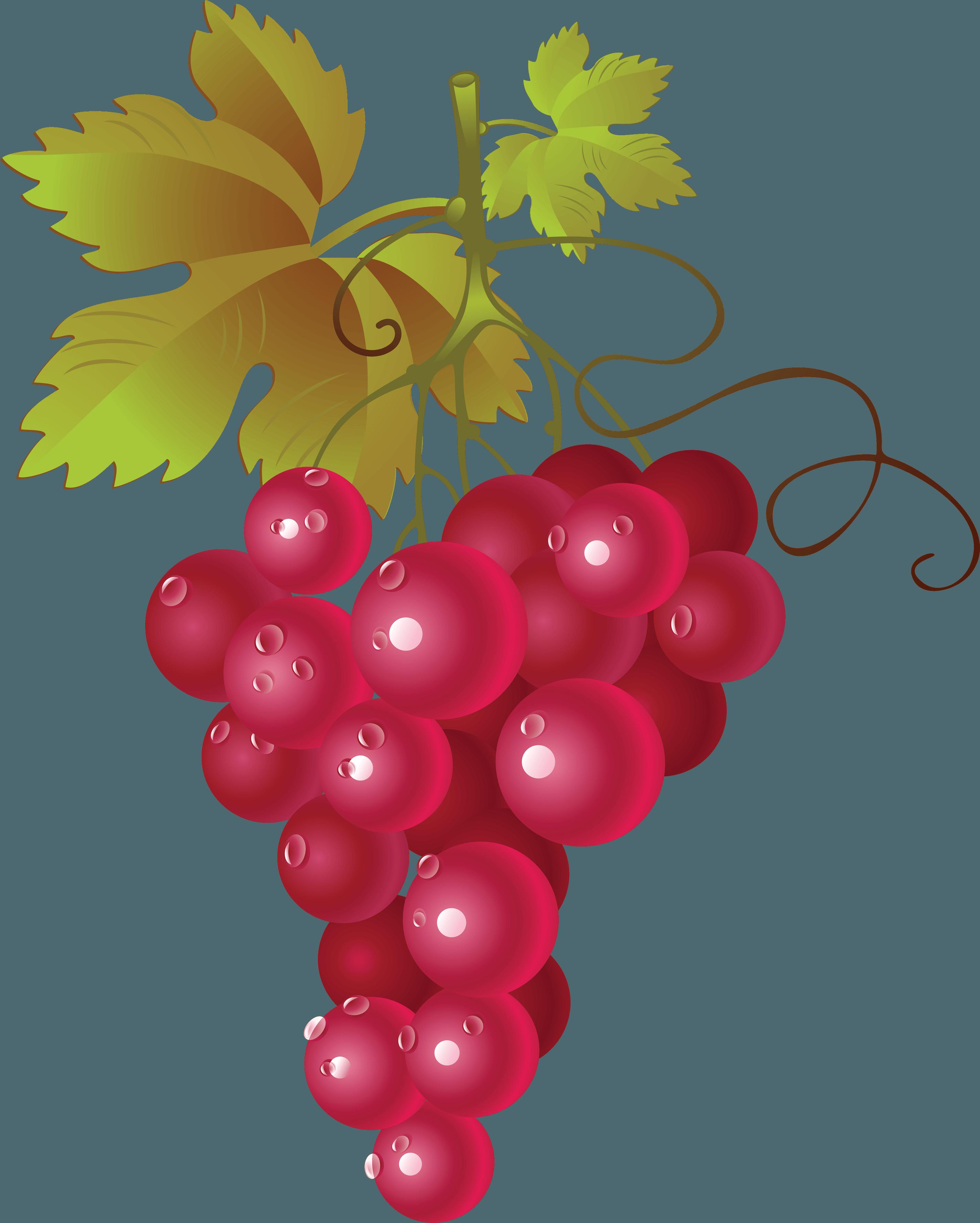 Grapevine clipart blackberry vine. Red wine common grape