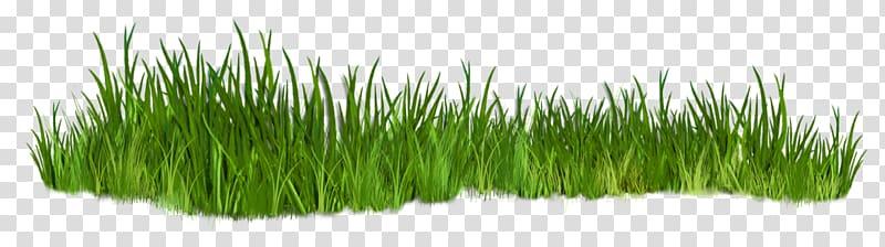Grasses plant transparent background. Grass clipart shrub