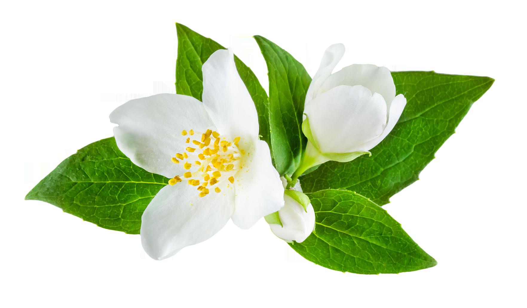 Green flower png. Jasmine images free download