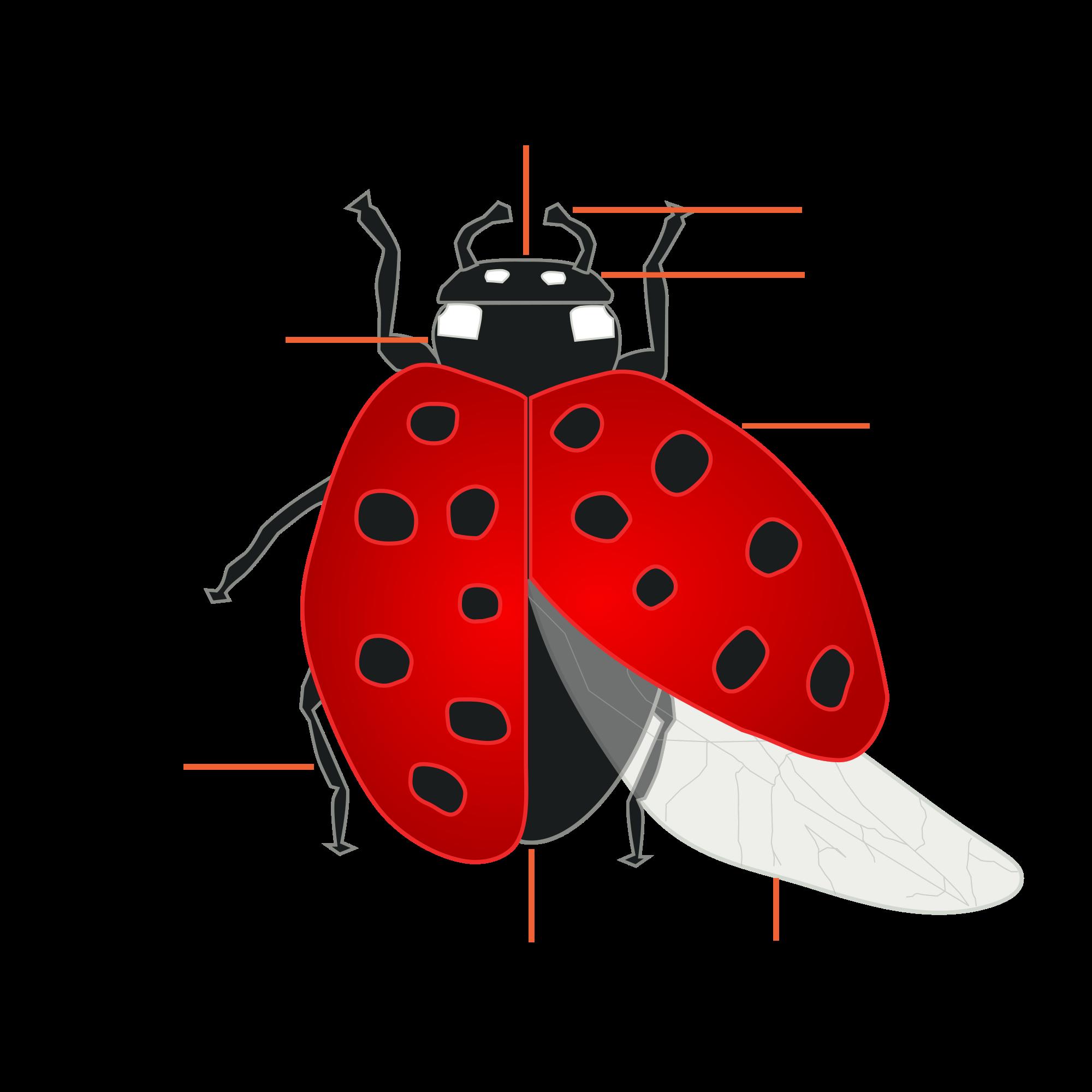 Ladybugs clipart cycle. Ladybug life kids growing