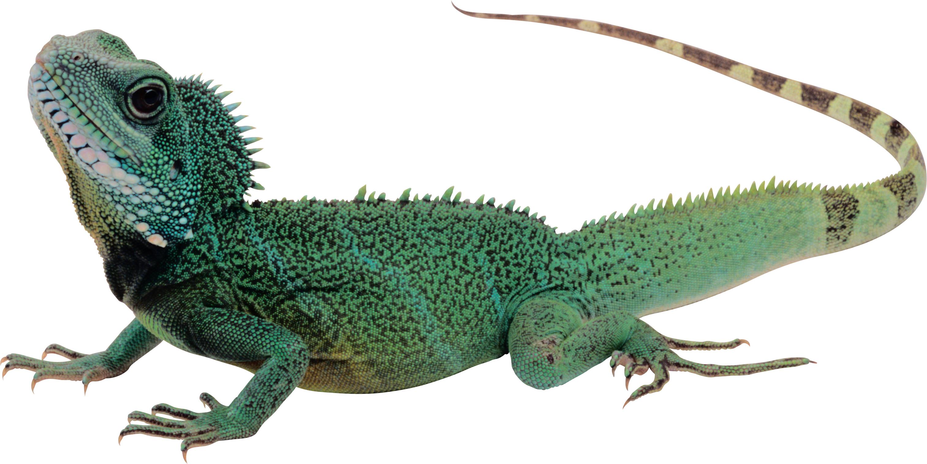 Lizard chipkali
