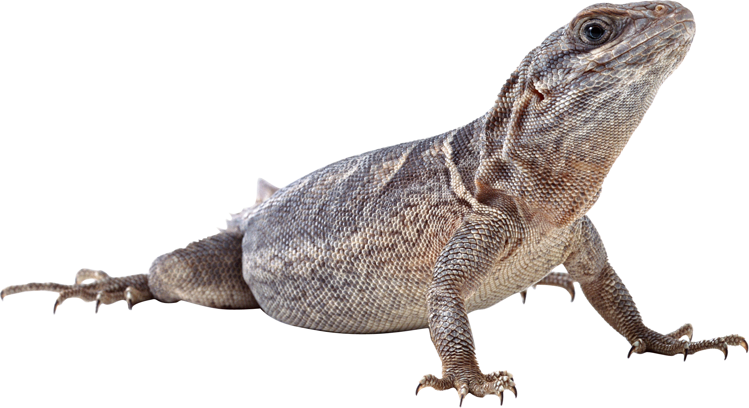 Png images free download. Lizard clipart chipkali