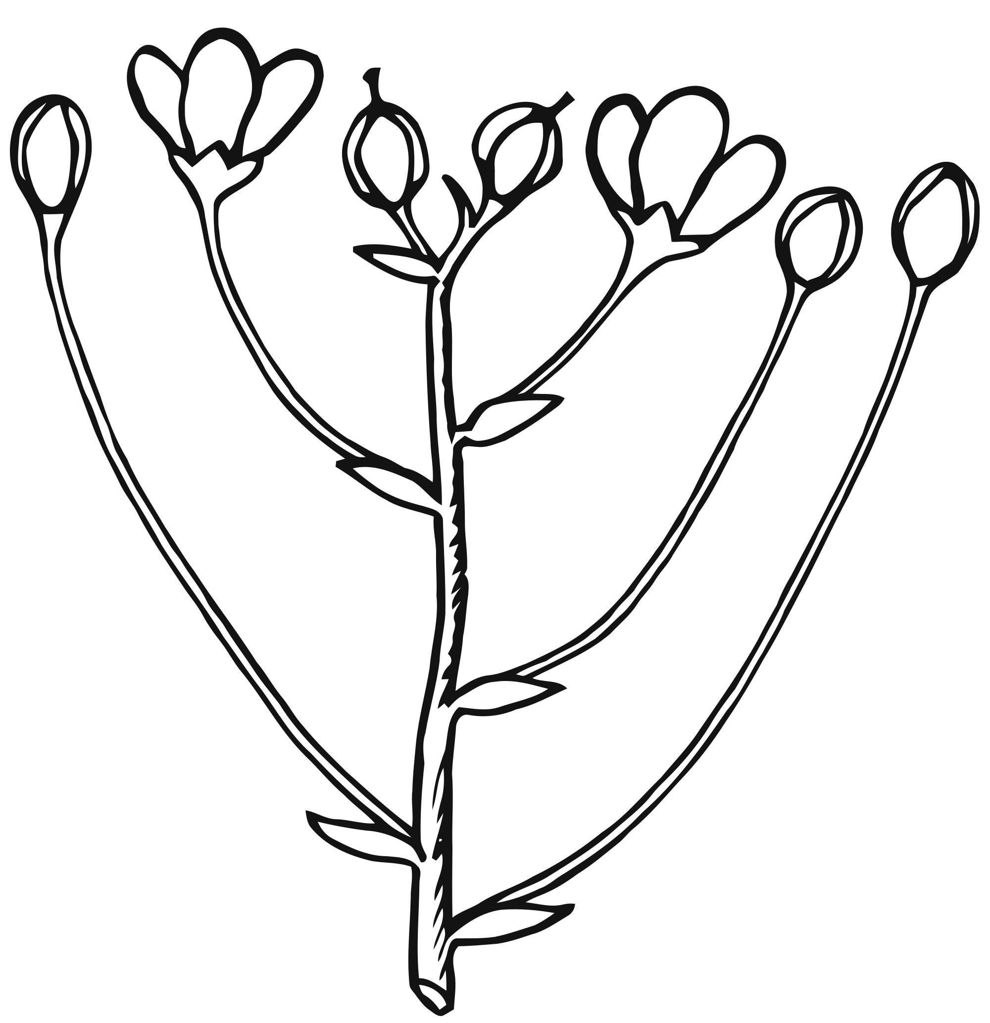 Growth clipart flower bud. Inflorescence cymose