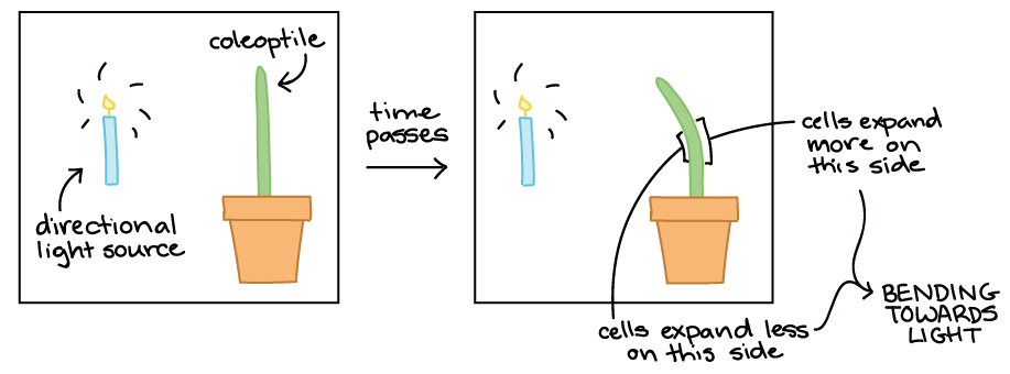 Collection of free apheliotropism. Growth clipart internal