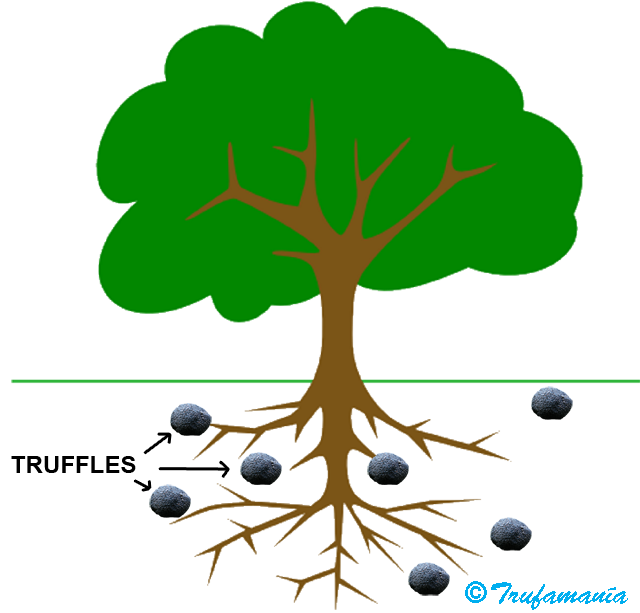 Ohapbio licensed for non. Roots clipart tuberous
