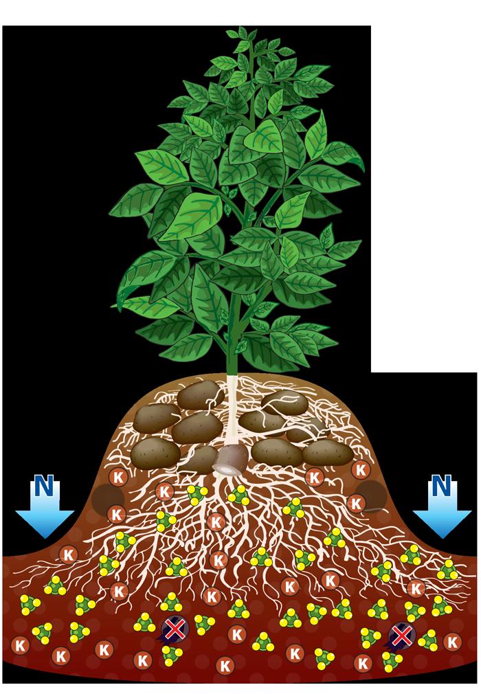 With roots clip art. Potato clipart potato plant