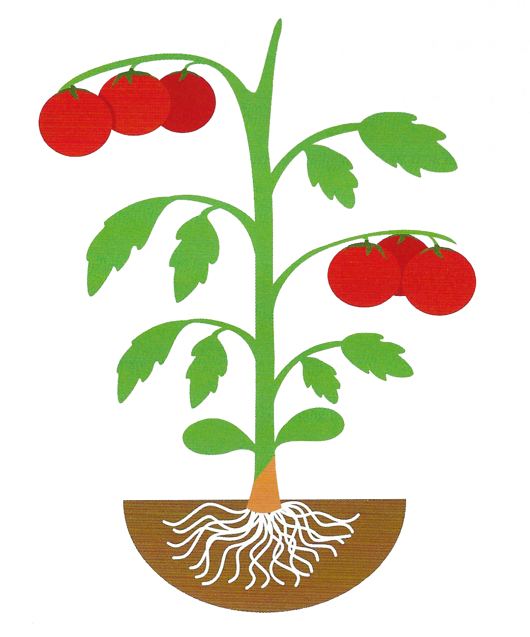 Tomatoes clipart tomato stem. Rootstocks archives american takii