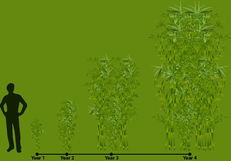 Growth clipart tree plantation. How does bamboo grow