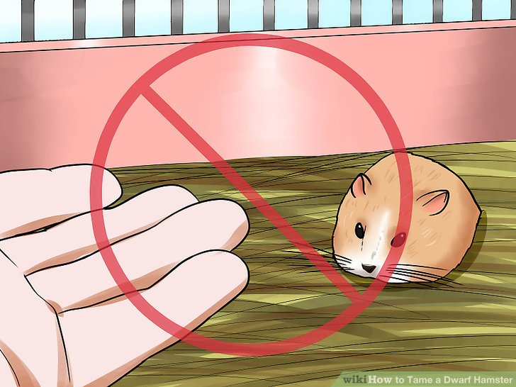 Hamster clipart baby hamster. How to tame a