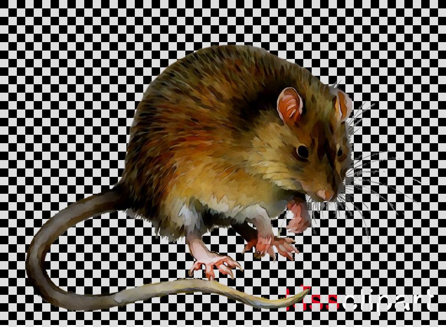 Background rat transparent clip. Hamster clipart brown mouse