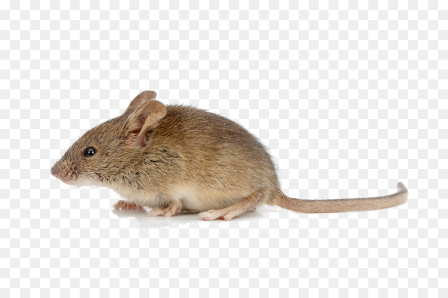 Hamster clipart brown mouse. Background rat transparent clip